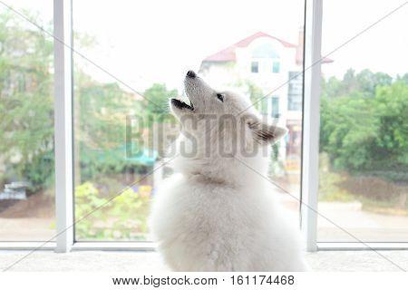 Samoyed dog howling on light background