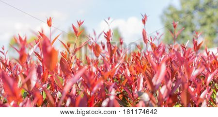 Australian Rose Apple Brush Cherry Creek Lily pilly Syzygium australe abstract red leaves background selective focus