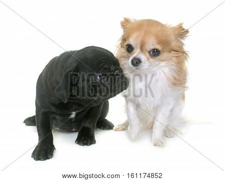 puppy black pug and chihuahua in front of white background