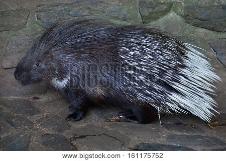 Indian crested porcupine (Hystrix indica), also known as the Indian porcupine. Wildlife animal.