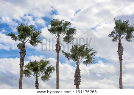Five tall fan palm trees blowing in the wind with blue sky in the background