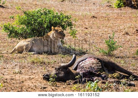 Lioness guarding its prey - a buffalo carcass from vultures. Perfect sunny day in Kruger National Park, South Africa