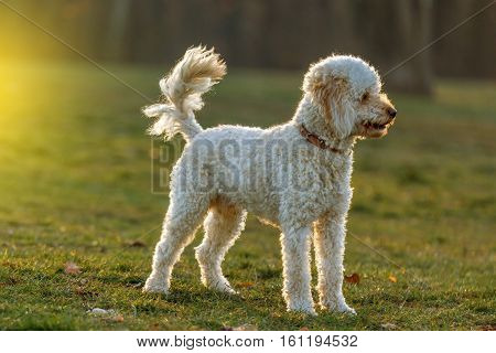 White poodle dog outdoors on green grass