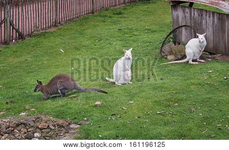 Kangaroo albino and gray on green grass in the park