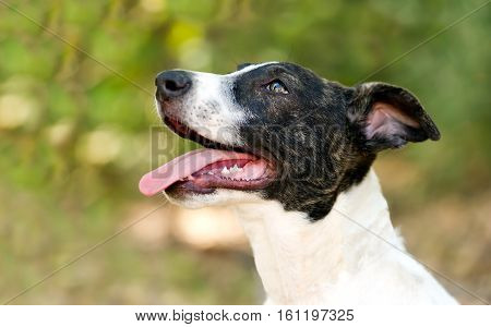 Happy dog tongue is a cute puppy dog outdoors happy excited and eager to play out in nature.