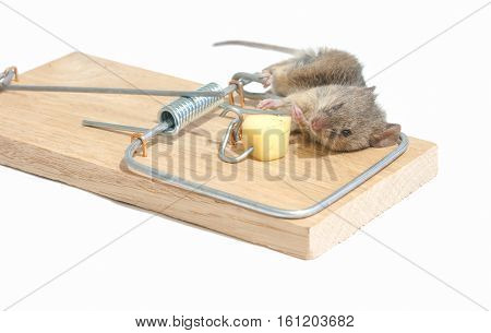 mouse in a spring-loaded mouse trap isolated on white