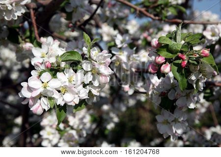 Apple Tree Flower Blossoming At Spring Time