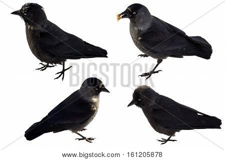 A set of photos jackdaws - 4 photos jackdaws (Corvus monedula - Western Jackdaw) isolated on white background