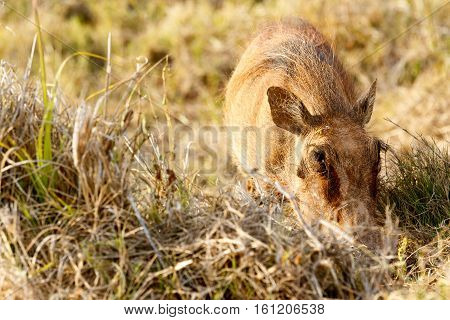 Common Warthog So Into His Grass