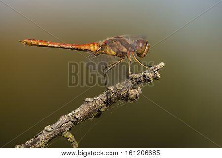 Vagrant Darter (Sympetrum vulgatum) male resting on a Dead Branch