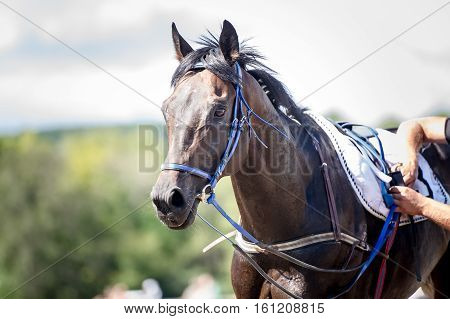 racing horse portrait close up after competition