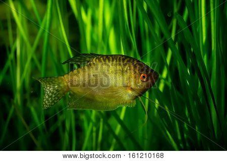Honey gourami Trichogaster chuna tropical aquarium fish