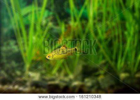 Barbus semifasciolatus (Barbus Shuberti) - aquarium fish
