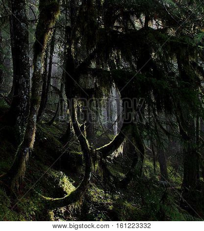The sun illuminates draping moss on a bowed tree on a hill on the Koosah Falls Trail in Western Oregon on a Spring day.