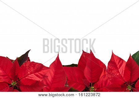 Christmas border with red poinsettia flower (Euphorbia pulcherrima) on white copy space for text.