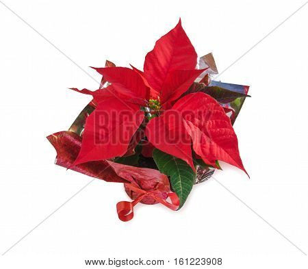 Christmas symbol beautiful red poinsettia flower (Euphorbia pulcherrima) isolated over white. Top view.