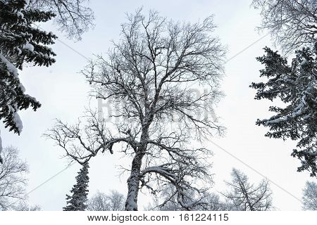 Wide and big branches of huge tree in winter forest.