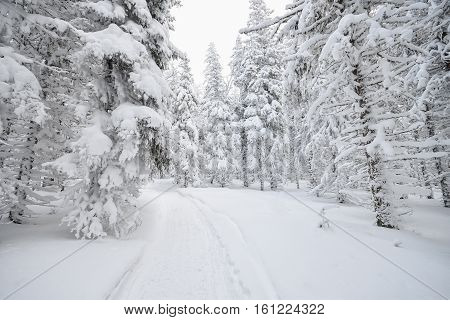 Winter forest covered by white snow with a trampled path .