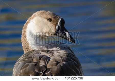 Profile of a Young Chinese Goose on the Waters of a Peaceful Pond