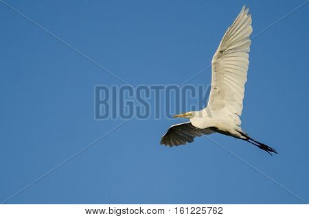 White Great Egret Flying in Clear Blue Sky
