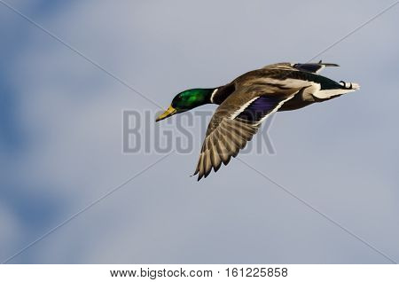 Mallard Duck Flying in a Cloudy Blue Sky
