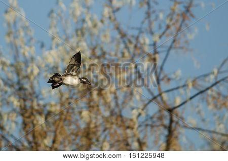 Bufflehead Duck Flying Past the Autumn Trees