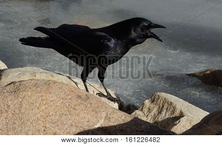 American crow cawing while standing on rock at winter lake edge