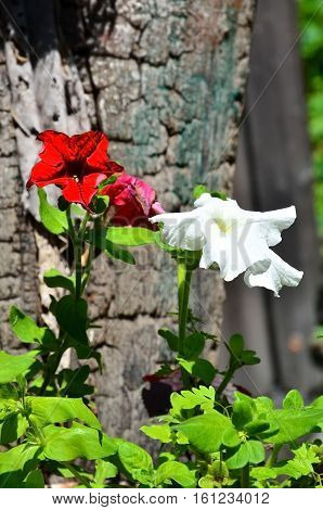 White and red petunia flowers on a background of wood.