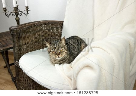 European striped cat sleeping in a chair