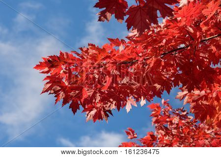 Vibrant fall color, red maple leaves against a blue sky