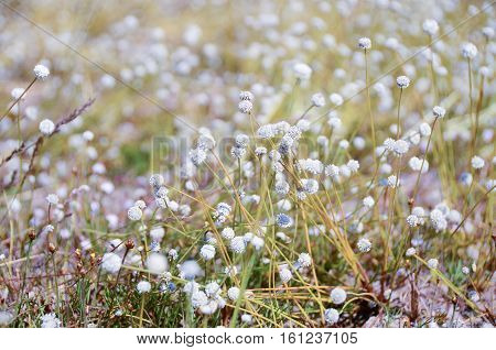 White flowers in full bloom, blur the field.