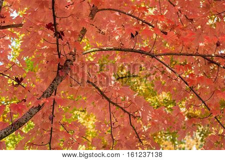Vibrant fall color, orange maple leaves of the tree canopy