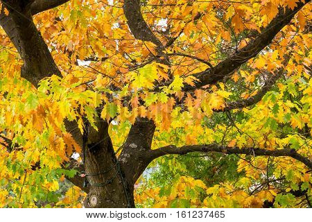 Fall color in an oak tree, green, yellow, and orange