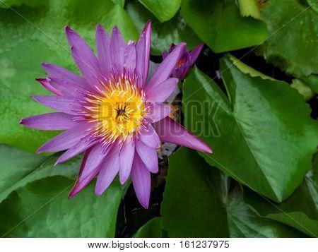 Purple Lotus In the garden , Feeling fresh