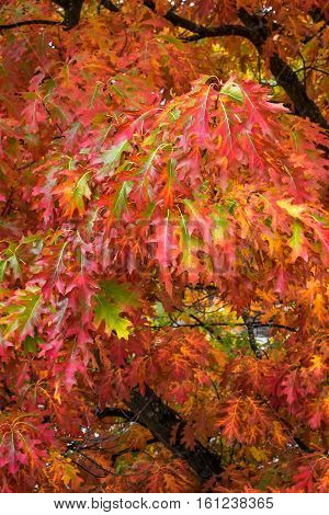 Fall color, close up of an oak tree branch with red and green leaves