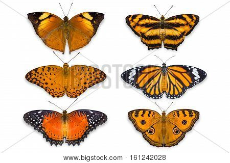 Orange Butterflies On White Background