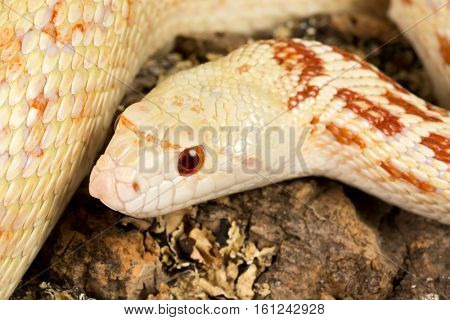 Detail of the head of a beautiful female adult bullsnake