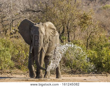 wild african bush elephant in the riverbank, drinking, in Kruger Park, South Africa