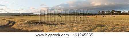Farm Pasture With Beef Cattle