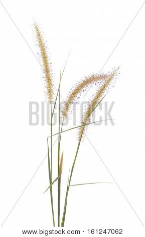Mission Grass isolated on white background.Feather Pennisetum Mission Grass Poaceae