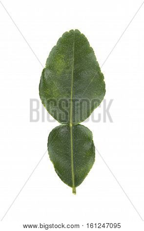 Leaf of bergamot (kaffir lime) isolated on white background.