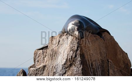 California Sea Lion sunning himself on the Pinnacle rock of Lands End at Cabo San Lucas Baja Mexico BCS