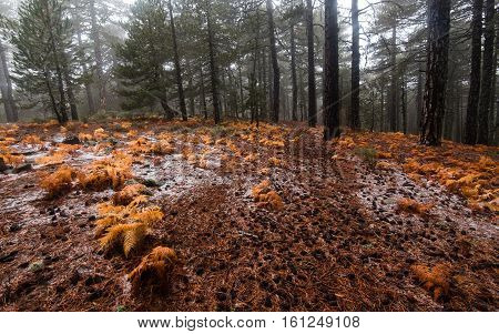 Winter forest landscape at Troodos mountains with pine trees and orange plants on the ground in the island of Cyprus