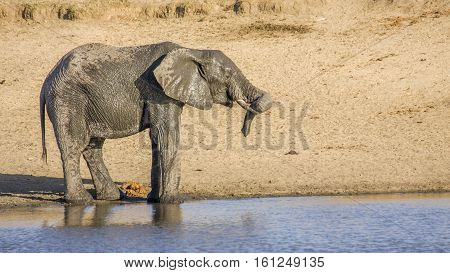 african bush elephant in the riverbank in Kruger park