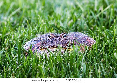 Close-up view of a Cranwell's horned frog (Ceratophrys cranwelli), or Pacman frog, surrounded by grass.
