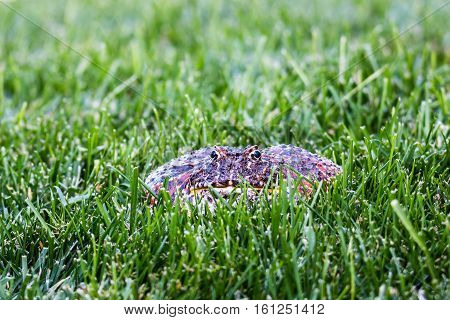 A Cranwell's horned frog (Ceratophrys cranwelli), or Pacman frog surrounded by grass and looking straight ahead.