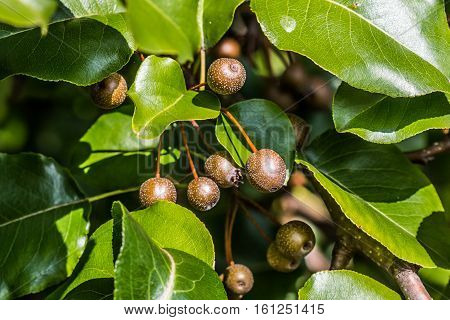 A group of Callery/Bradford Pear (Pyrus calleryana) fruit with leaves.
