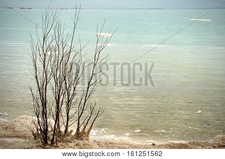 Bushes Covered With Salt At The Dead Sea