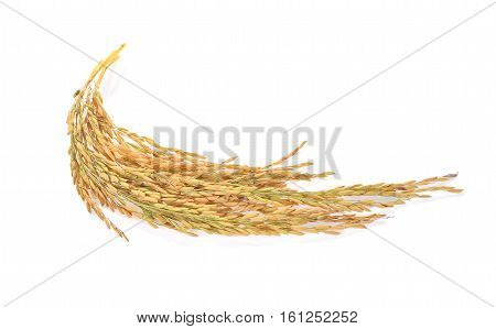ears of Thai jasmine rice isolated on white background