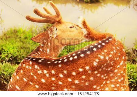 Spotted deer are naturally spread in India, Sri Lanka, Nepal, Bhutan and Bangladesh. Spotted deer introduced into Argentina, Armenia, Australia, Brazil, Croatia, Moldova, Pakistan, Papua New Guinea, Ukraine; United States, and Uruguay.